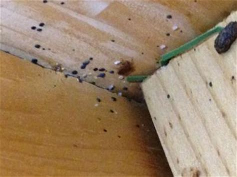 signs of bed bugs in wood furniture 17 insanely