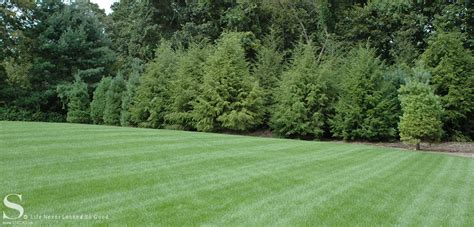 landscape screening trees screening evergreens privacy trees stecks nursery and landscaping riggins design