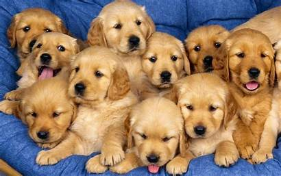 Puppy Puppies Dog Dogs Adorable Pet Cutest