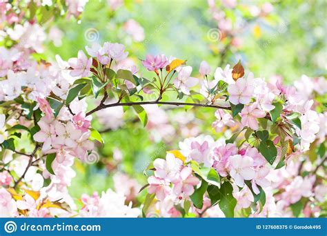 Cherry Blossom Spring Time Sunny Day Garden Landscape