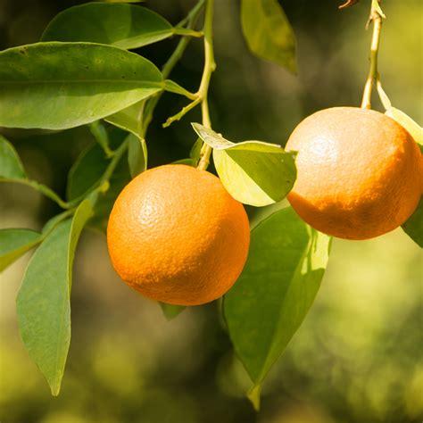orange trees varieties citrus popular most tree navel
