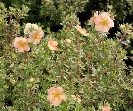 Potentilla fruticosa 'DayDawn' - Parastā klinšrozīte