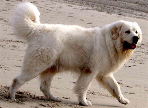 herding dogs list   herding dog breeds