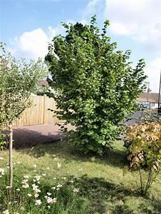 Raw Edible Plants: Hazelnut (Corylus avellana)