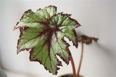 begonia leaf houseplants are back