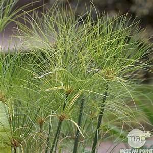 Plante Pour Bassin Extérieur : plante de bassin cyperus papyrus autres marques ~ Premium-room.com Idées de Décoration