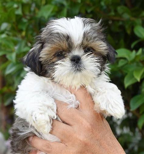 images  shih tzu pups dogs  pinterest