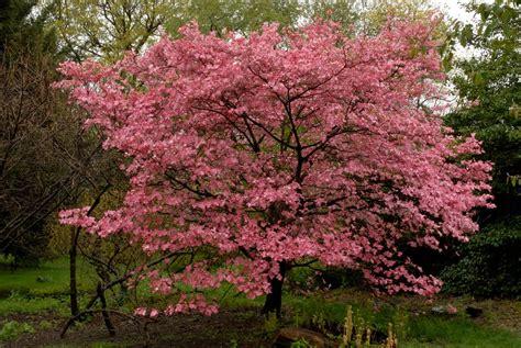 dogwood flowering tree tree identification cornus florida flowering dogwood