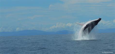 whale watching  uvita costa rica