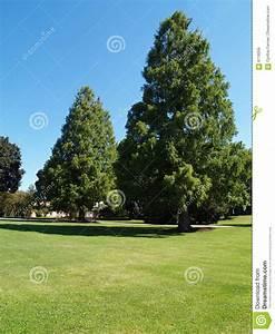 Large Evergreen Trees Stock Photo  Image Of Deserted  Countryside