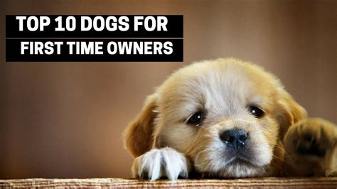 best for owners top 10 dogs for first time owners best puppy breed fo doovi