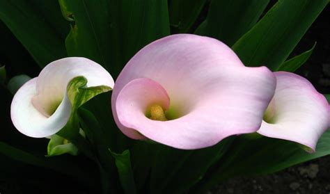 what flowers go with calla lilies calla lily