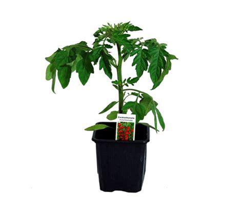 gemüse anbauen hochbeet cocktailtomate cherrytomate lexikon f 252 r kr 228 uter und pflanzen