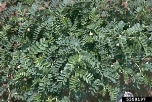 Chickpea  Cicer Arietinum  Fabales  Fabaceae  Leguminosae