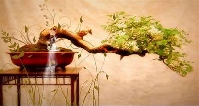 Bonsai Japanese Nature Trees Drzewko Tree 4k
