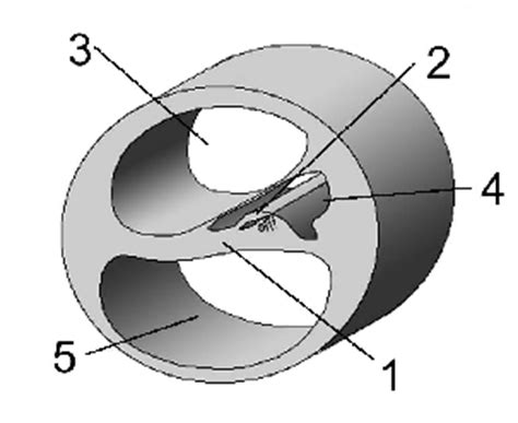 Blank Diagram Of The Cochlea by 5 Physiological Acoustics Psychoacoustics And Perception