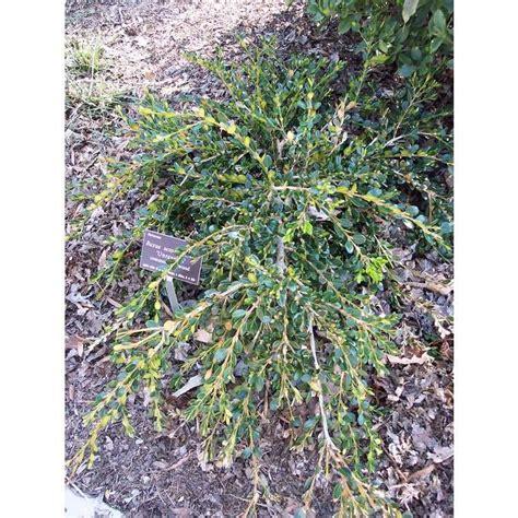 Buxus sempervirens 'Unraveled' common boxwood Buxus