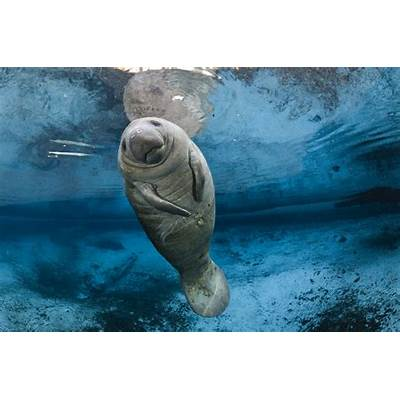 Manatees Are No Longer Endangered Species Feds SayTime
