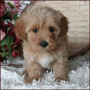 Maltipoo Puppy 4 Sale| Maltepoo| Maltese Poodle Puppies ...