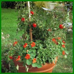 Kräuter Pflanzen Topf : kr uter und tomatentopf in n hrstoffreiche erde pflanzen ~ Lizthompson.info Haus und Dekorationen