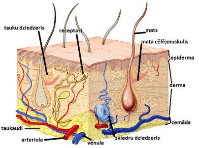 Cilvēka ādas uzbūve, funkcijas — teorija. Bioloģija, 12 ...