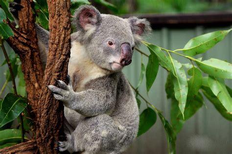 koala sanctuary pine brisbane lone australia queensland facts interesting fun travel byrne april davidmbyrne remotetraveler