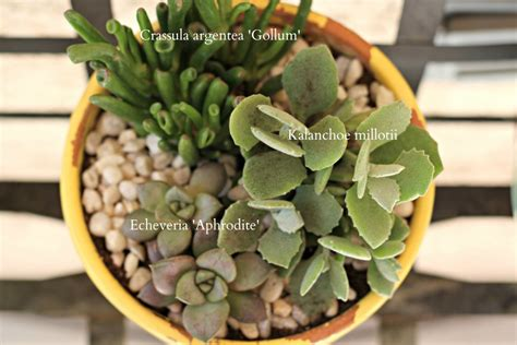 how often should i water succulents how to care for succulents organize and decorate everything