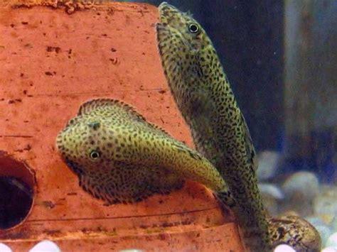 loach fish hillstream loach