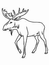 Coloring Bull Moose Drawing Reindeer Antlers Draw Alaska Sheets Printable Elk Skull Face Cartoon Drawings Head Clipartmag sketch template
