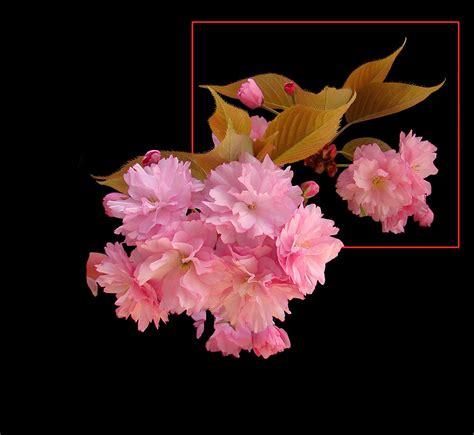 fiore giapponese 382 ciliegio da fiore giapponese foto immagini piante
