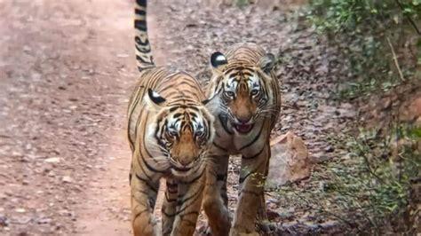 ranthambore wildlife rejoin hesitant still