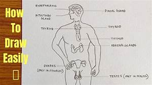 Glands Of The Endocrine System Diagram Images 488