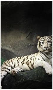 white tiger in a cave HD Wallpaper | Background Image ...