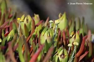 Plante Oreille De Lapin : les griffes de sorci re des plantes grasses envahissant le littoral m diterran en d partement ~ Melissatoandfro.com Idées de Décoration