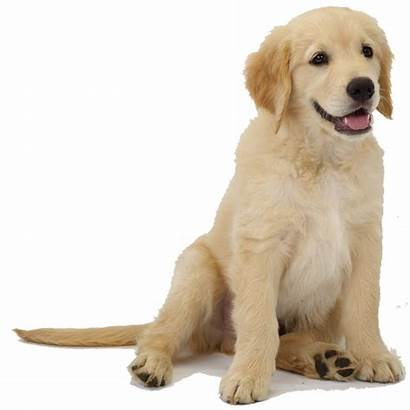 Retriever Golden Puppy Pet Animals Clipart Benefits