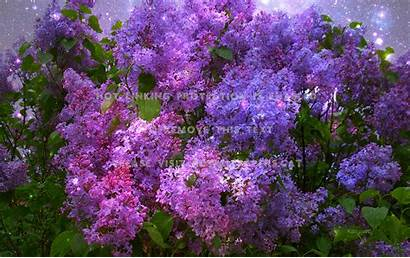 Lilac Wallpapers Flower Purple Magical Lilacs Computer