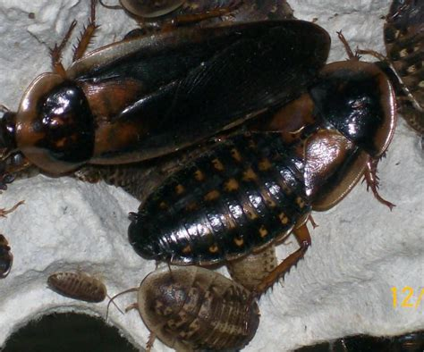 Bearded Feeders by Theroachguy Dubia Roaches For Sale Reptile Feeders