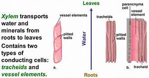 Wiring And Diagram  Diagram Of Xylem Tracheids