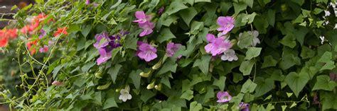 Kletterpflanzen Für Den Garten by Die 10 Eifrigsten Kletterpflanzen F 252 R Den Garten Garten