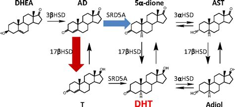 dihydrotestosterone synthesis bypasses testosterone