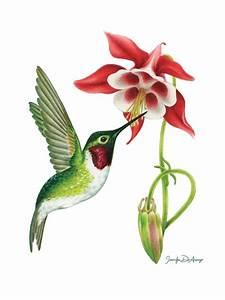 Ruby-Throated Hummingbird and Columbine , an art print by ...