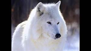 Bébé Loup Blanc : hommage jacky loup blanc youtube ~ Farleysfitness.com Idées de Décoration