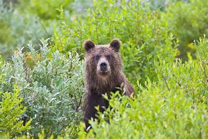 Kamchatka Bear Brown Eastern Far East Desktop