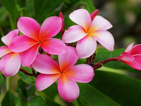 plumeria hawaiian flowers flowers  reddish pink
