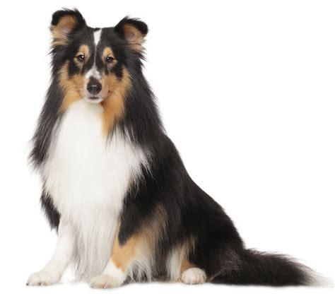 shetland sheepdog puppies breed information puppies  sale