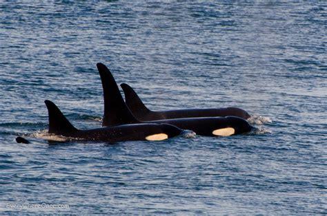 Killer Whales And A Killer Canine Off San Juan Island