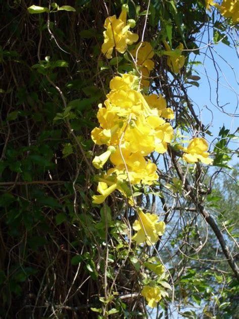 yellow flower vines pictures flowering vines yellow yellow flowering vines flowering vines
