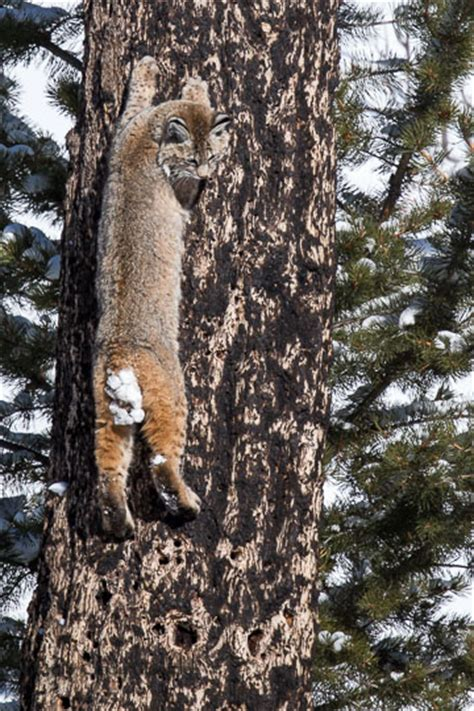 coyote climbs tree  steals bobcats duck cindy