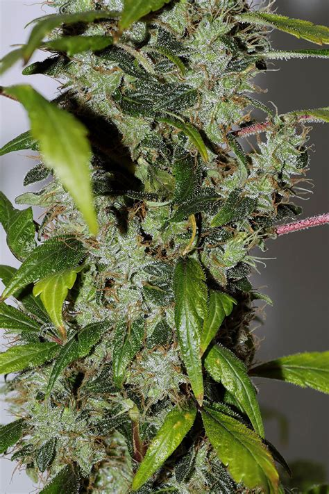 purple bud regular seeds  seedsman seedsman seedsman