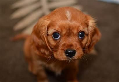 Dogs Puppy Eyes Dog Feel Shame Sad